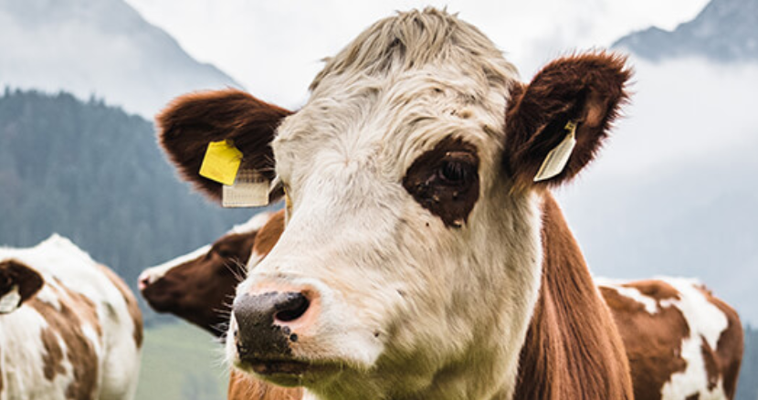 Agriculture in the low-carbon era: Why we can't wait until the cows come home